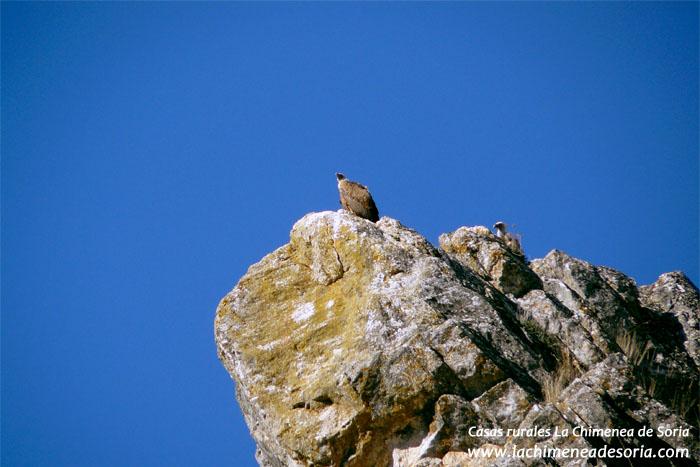 aves Buitres leonados frente al Castillo de Espeja de San Marcelino (Soria)