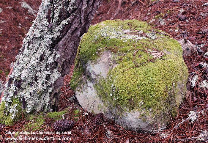 pino y roca con musgo