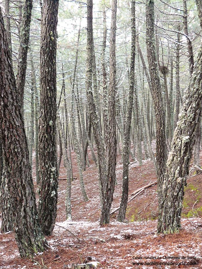 pinar en invierno y nido