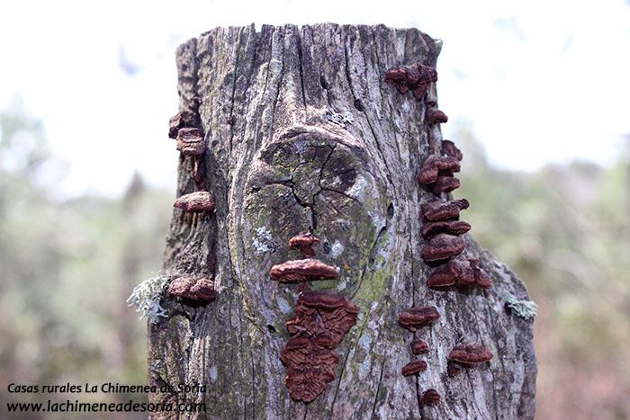cara en poste de pino