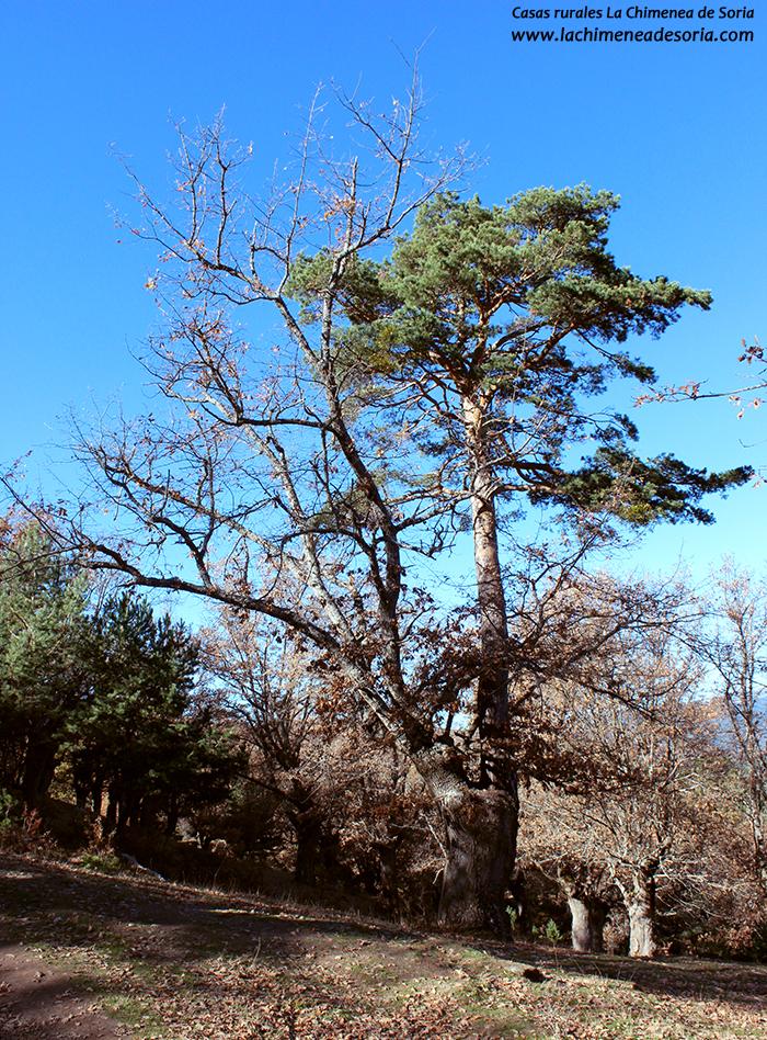 pino roble de canicosa de la sierra
